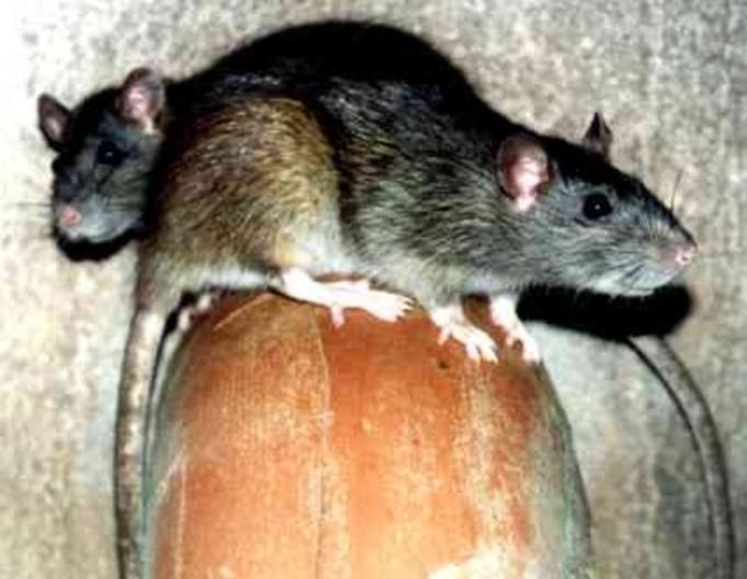 Szczury atakują  Łódź!