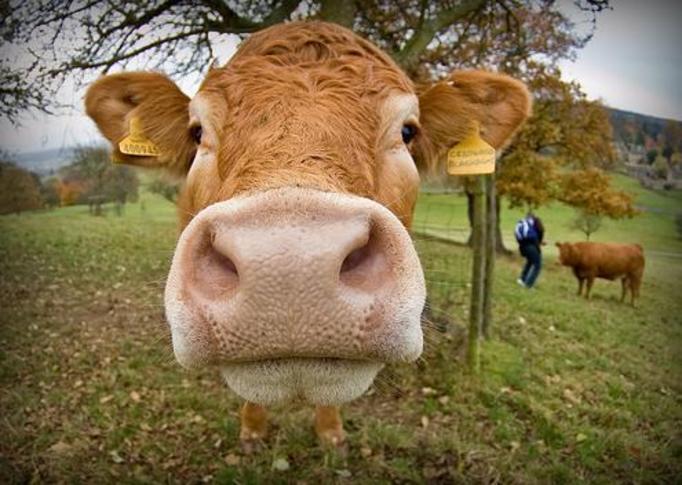 krowa, polska wieś