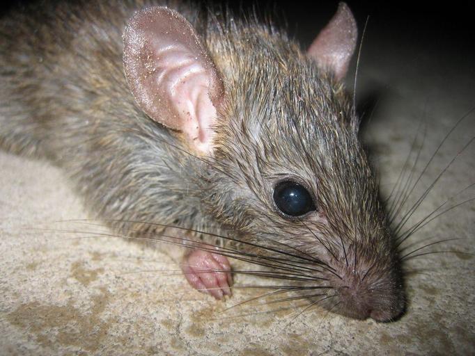 Plaga gryzoni – czy szczury zjedzą nas żywcem?