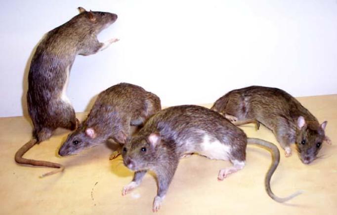 Inwazja szczurów: Atakują ludzi, gryzą, roznoszą choroby!
