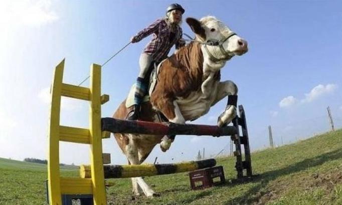 jazda na krowie