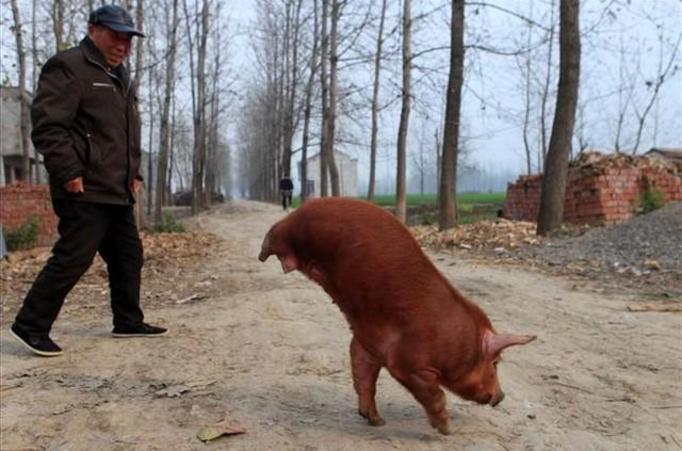 dwunoga świnia