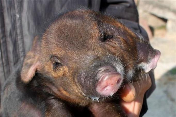 dwuryjowa świnka