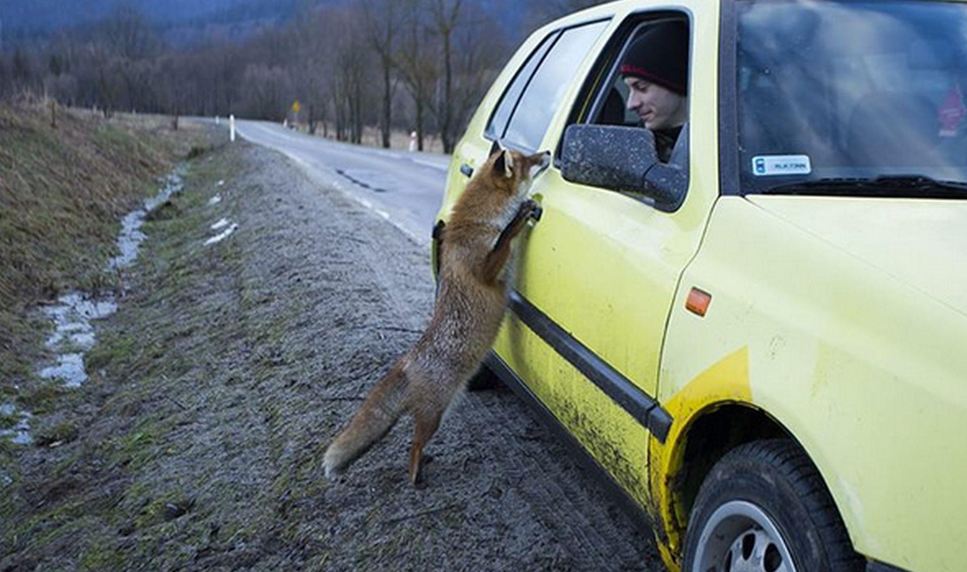 lis zagląda do golfa